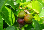 বৈঁচি ফলের পুষ্টিগুণ