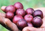 টিপা ফলের উপকারিতা ও পুষ্টিগুণ
